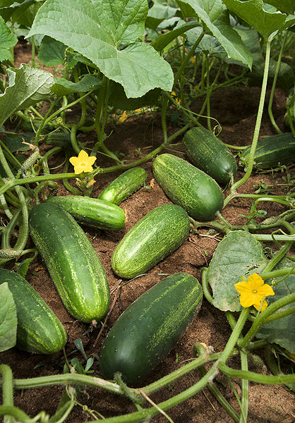 418px-ARS_cucumber.jpg