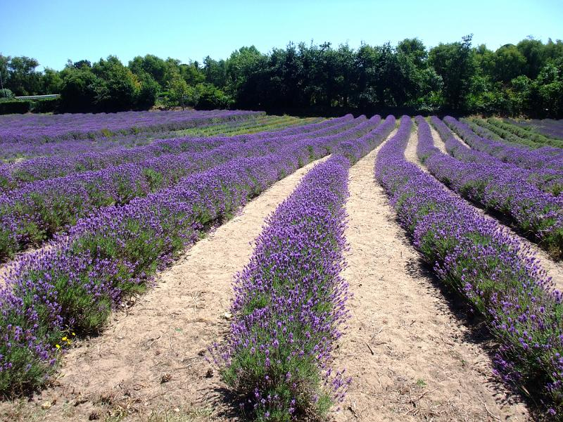 Jersey_Lavender_farm_B.jpg