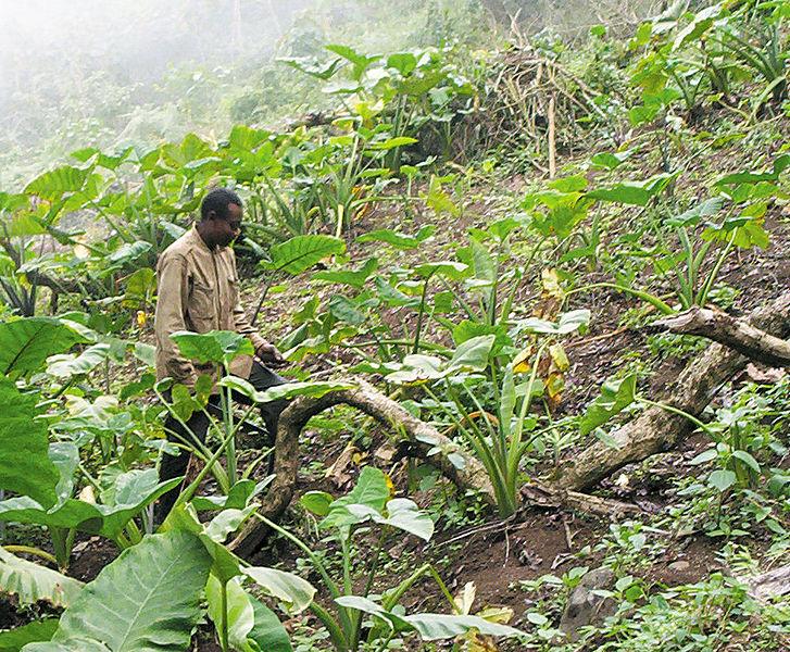 Bakweri_cocoyam_farmer_from_Cameroon.jpg