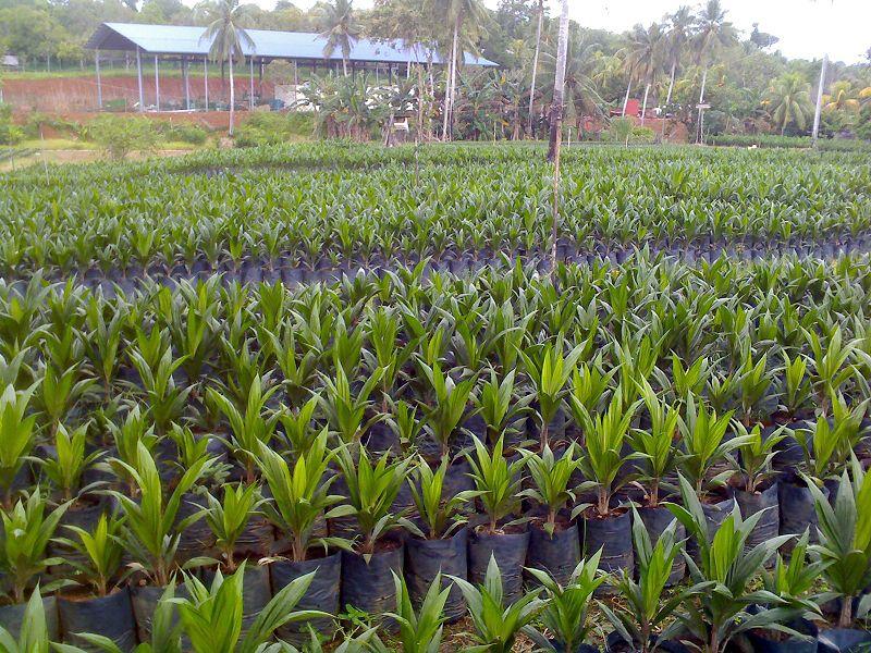 800px-Tawau_Oil_Palm_Nursery.jpg