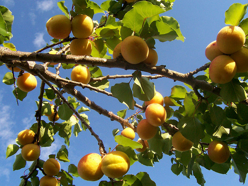 800px-Apricot_tree.jpg