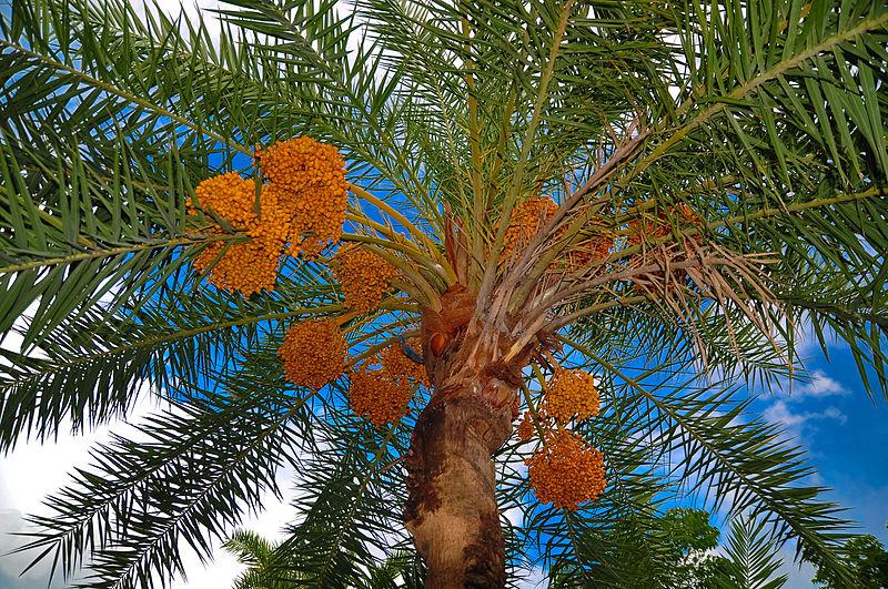Date_palm_tree.jpg