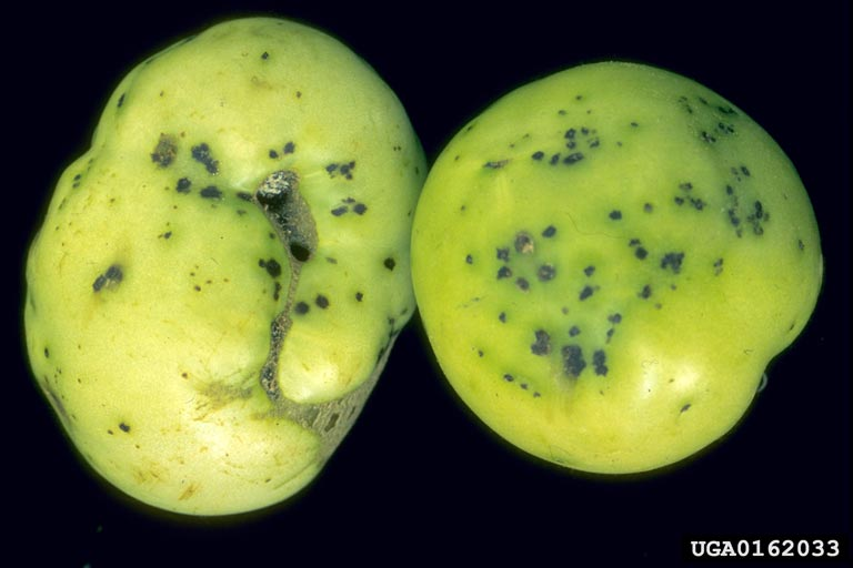 bacterial_spot.jpg