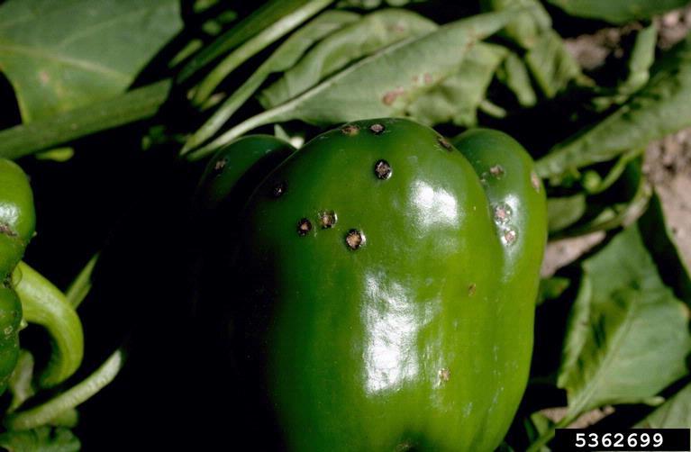 bacterial_spot_pepper.jpg