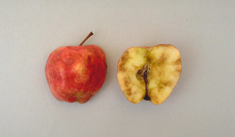 Apple_maggot.jpg