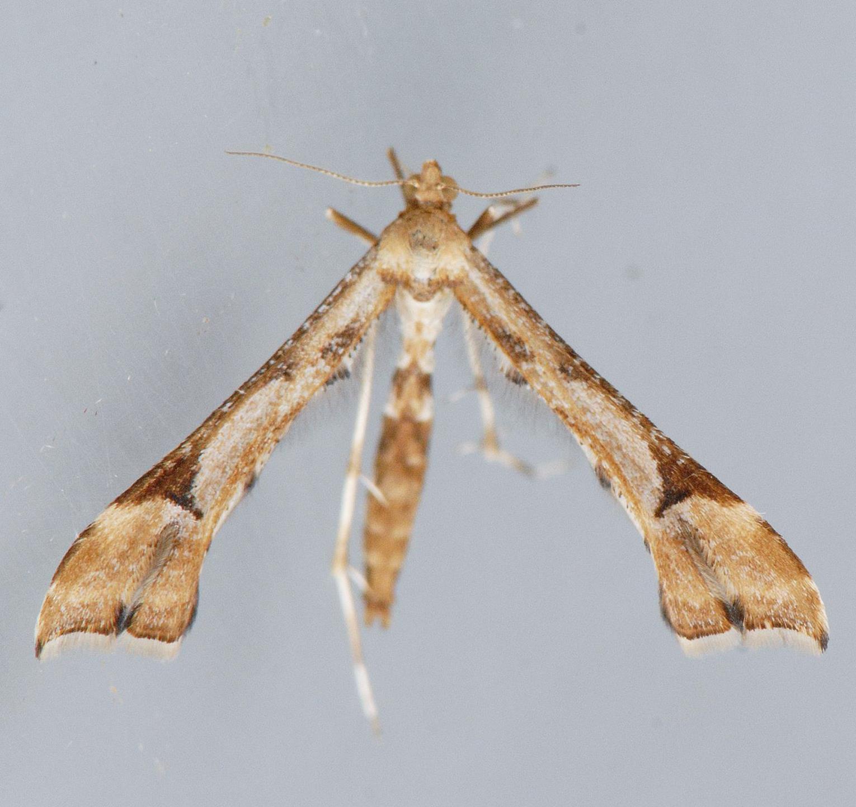 Artichoke_plume_moth.jpg