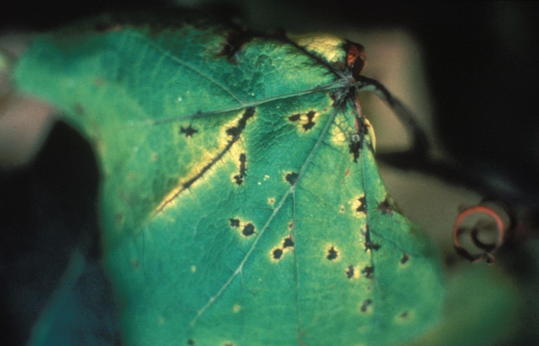 Phomopsis_leaf_spot_1.jpg