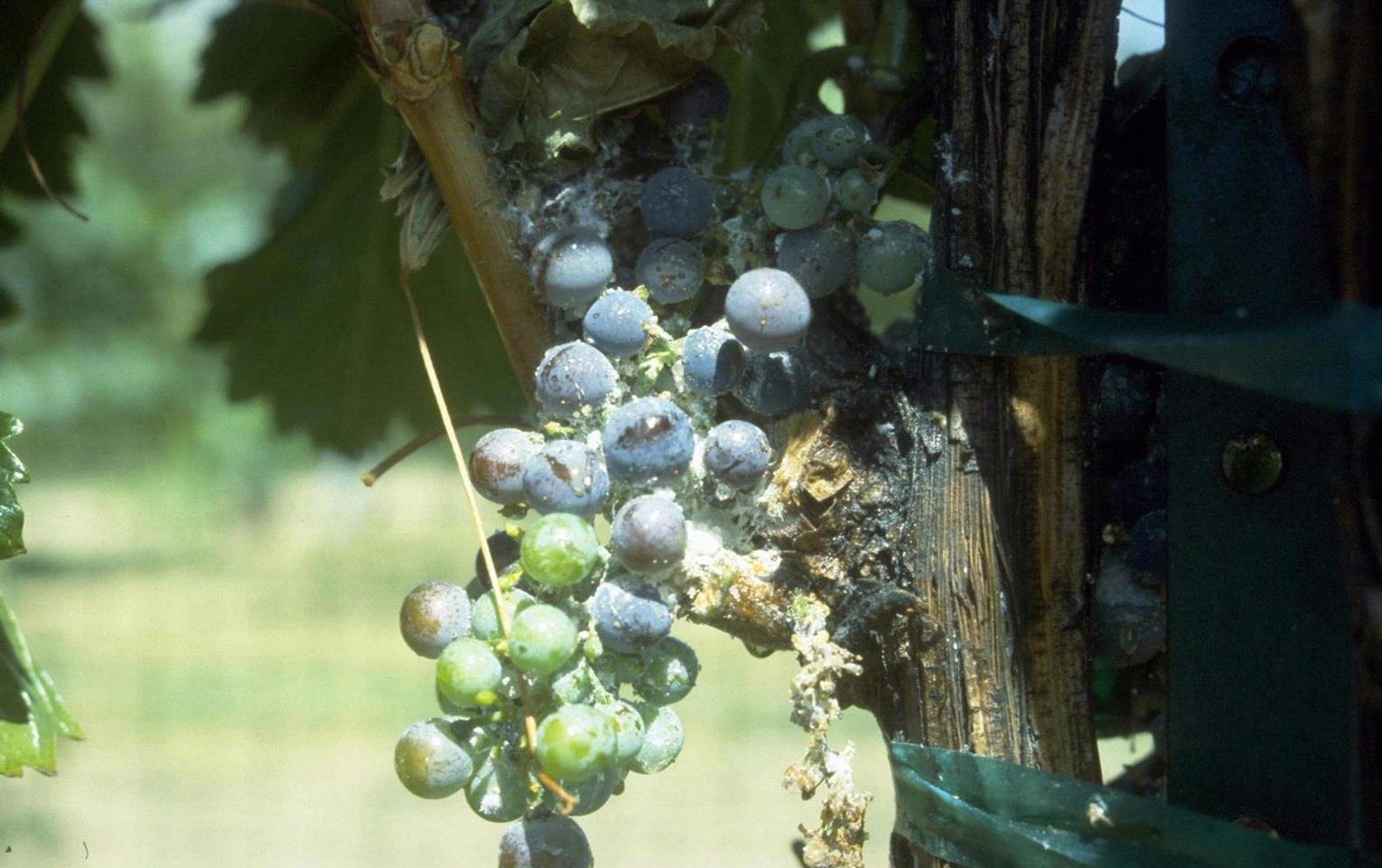 Grape_mealybug_1.jpg