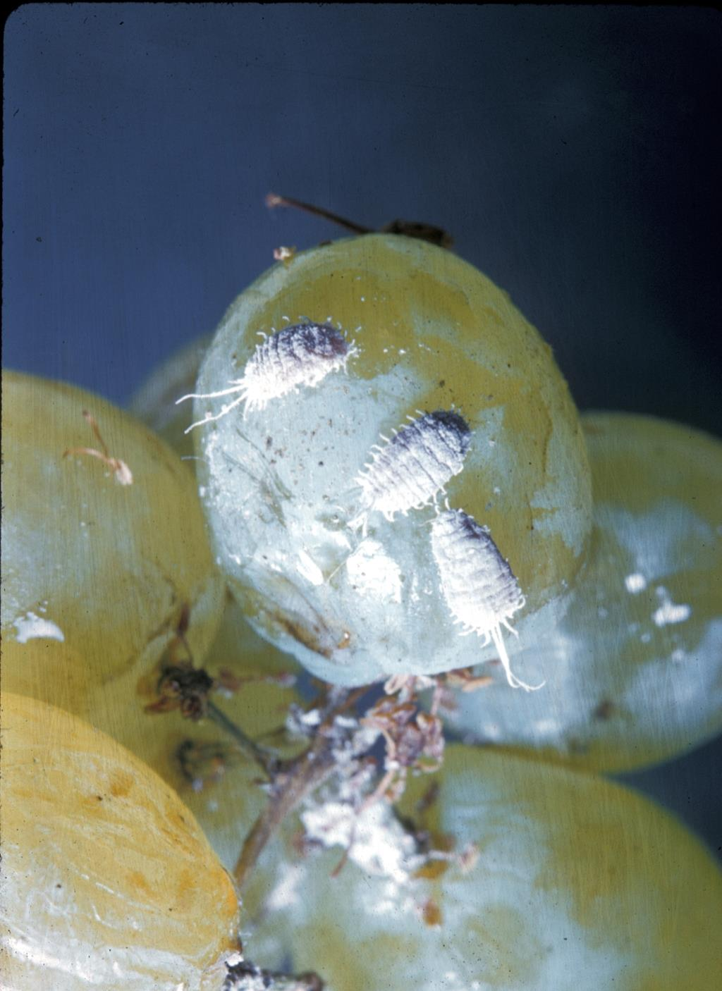 Grape_mealybug_2.jpg