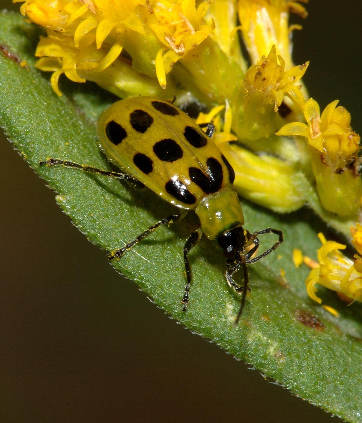 Spotted_cucumber_beetle.jpg