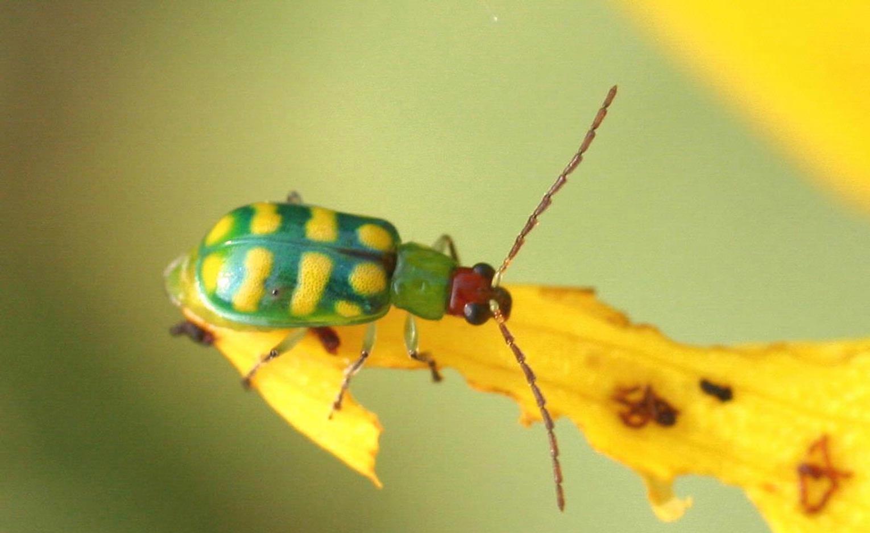 Banded_cucumber_beetle.jpg