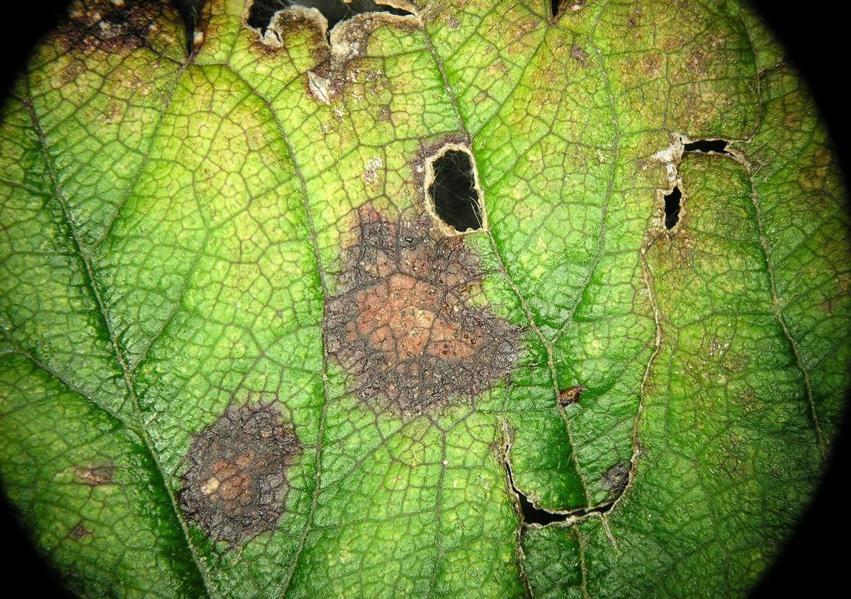 Leaf_scorch_1.jpg