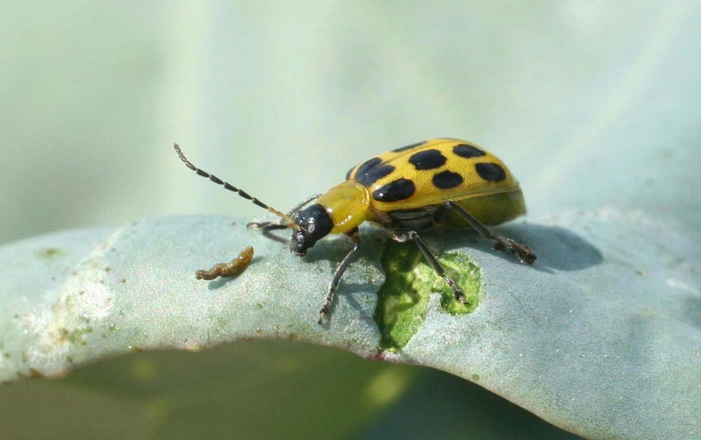Cucumber_beetle.jpg
