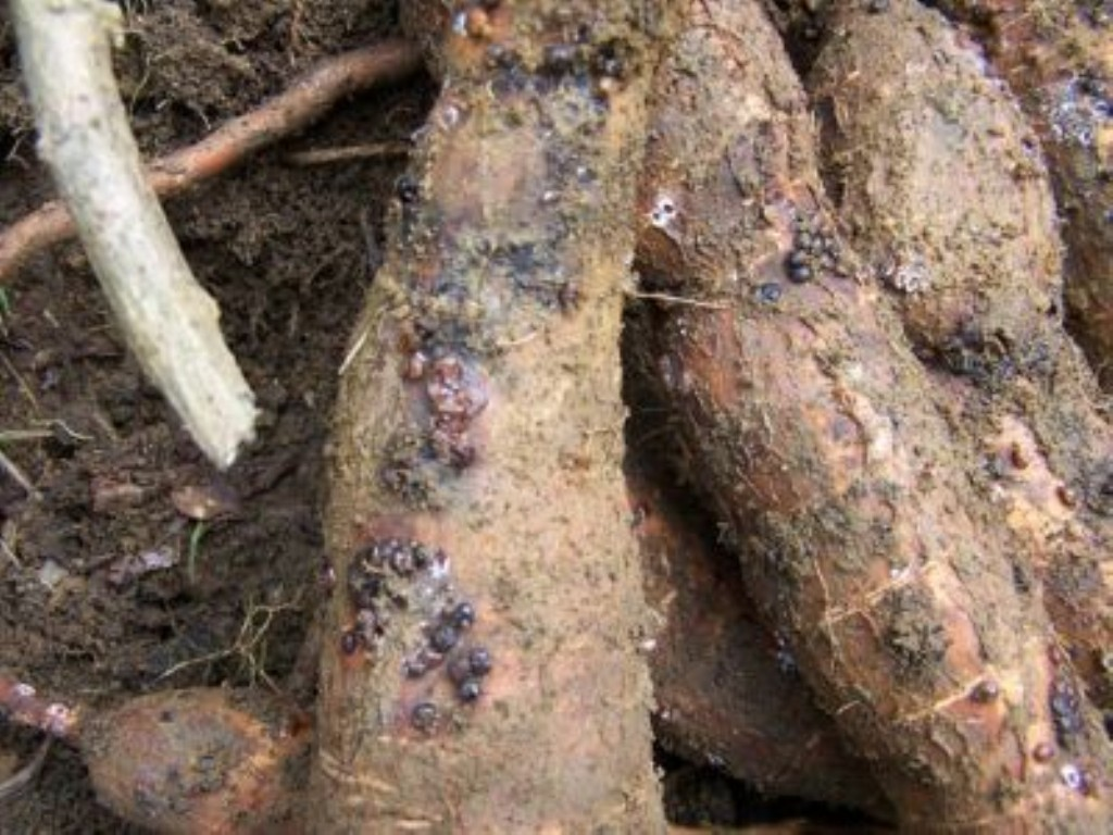 African_root_and_tuber_scale_2.jpg