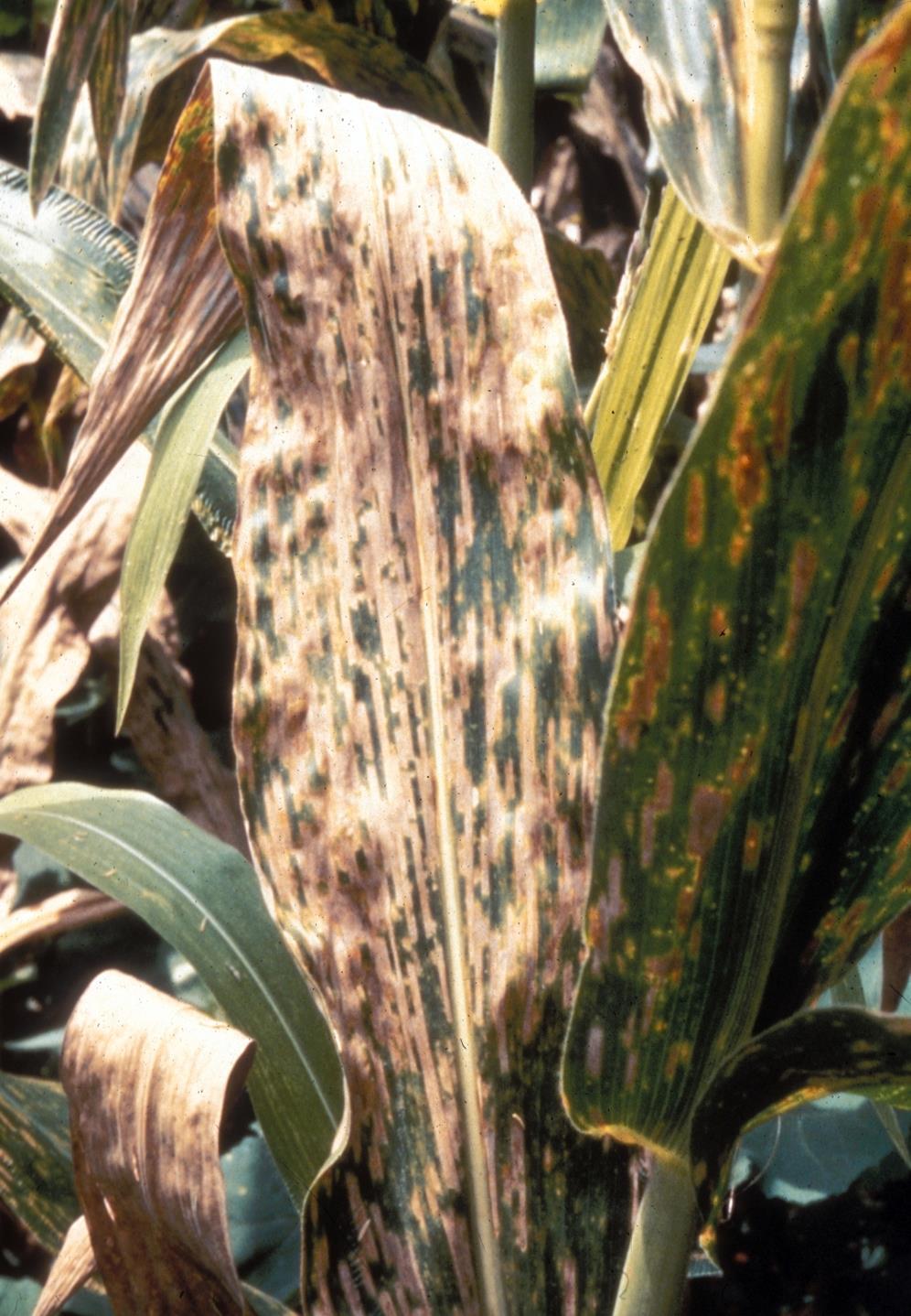 Cercospora_leaf_spot_4.jpg