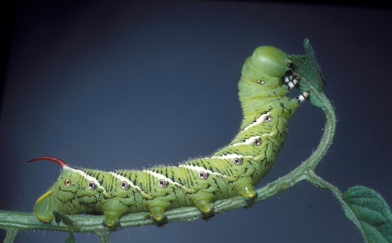 Tobacco_hornworm.jpg