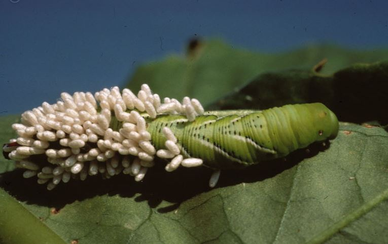 Parasitized_hornworm.JPG