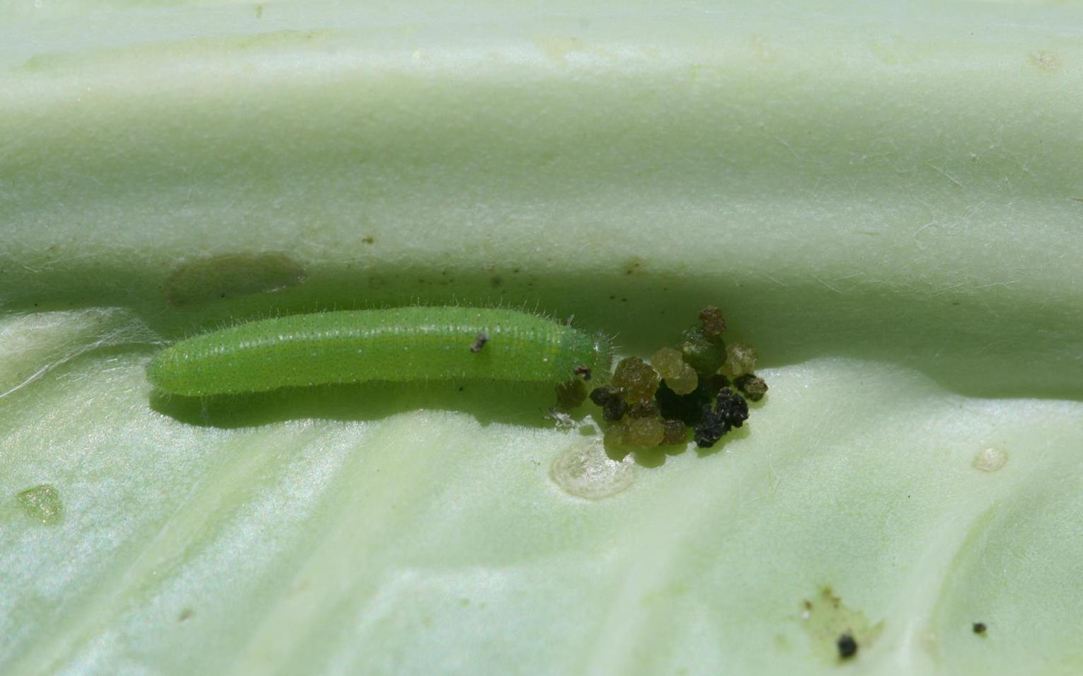 Cabbageworm_1.jpg