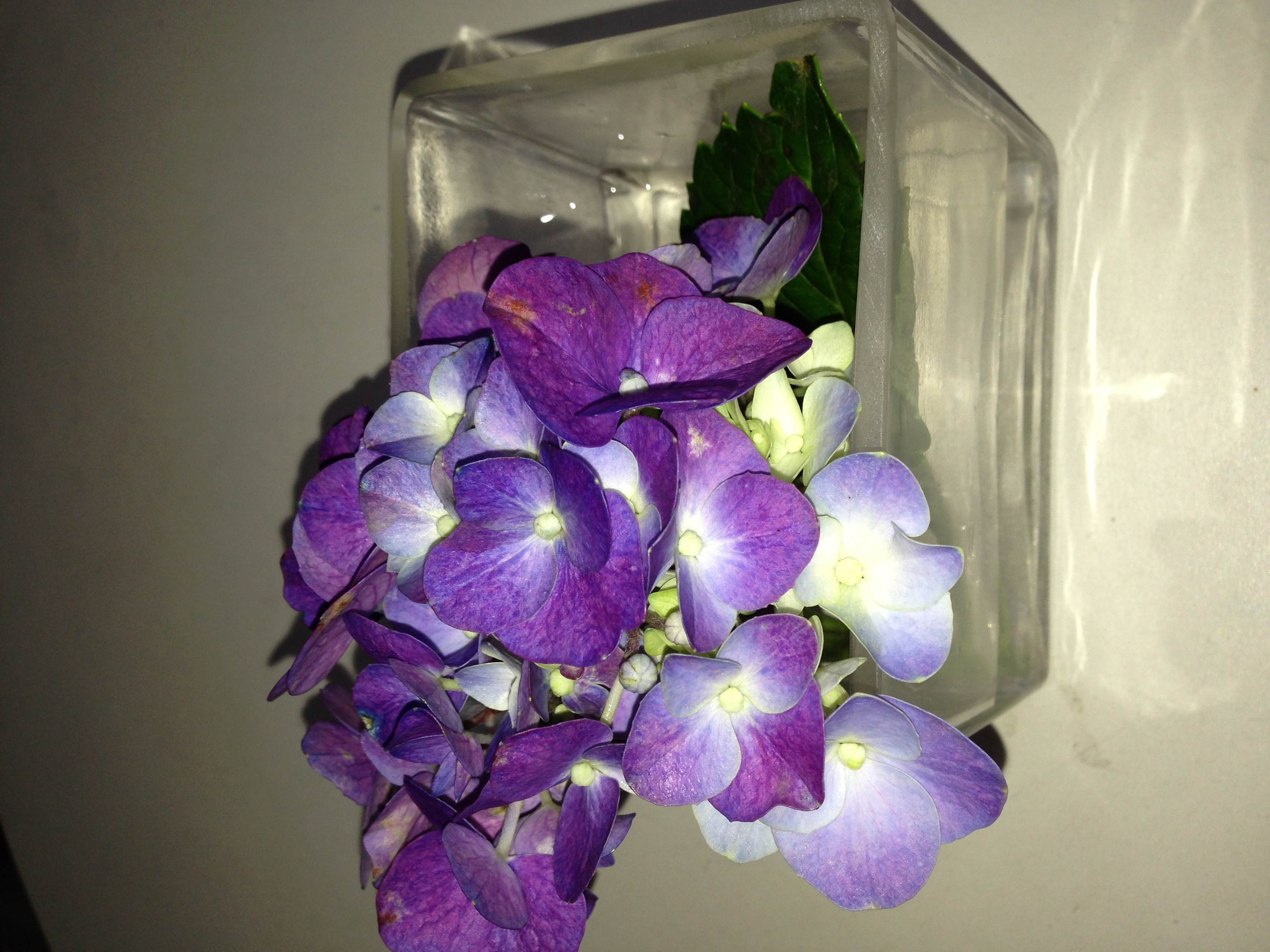 How the hydrangea used to look