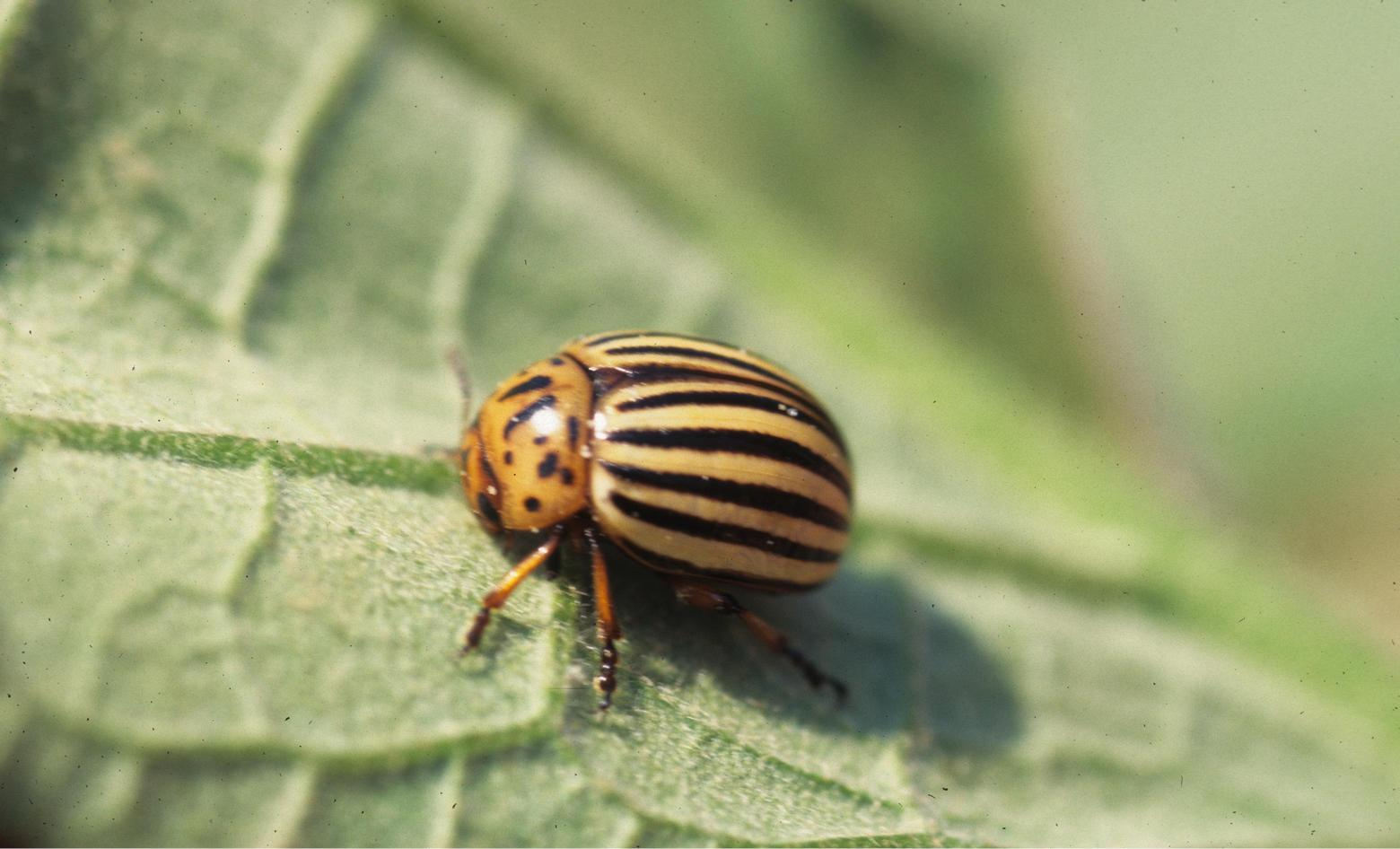 Adult_beetle.jpg