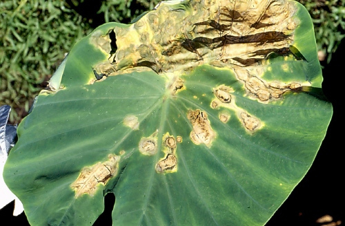 Taro_leaf_blight_1.jpg