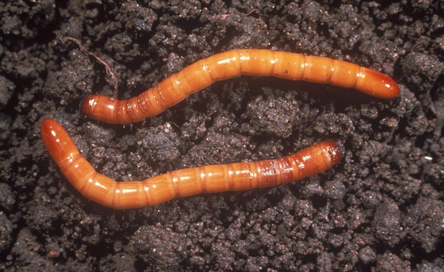 Wireworms.jpg