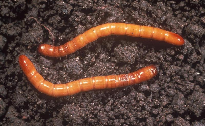 Wireworms.jpg