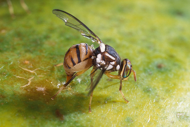 800px-Bactrocera_dorsalis.jpg