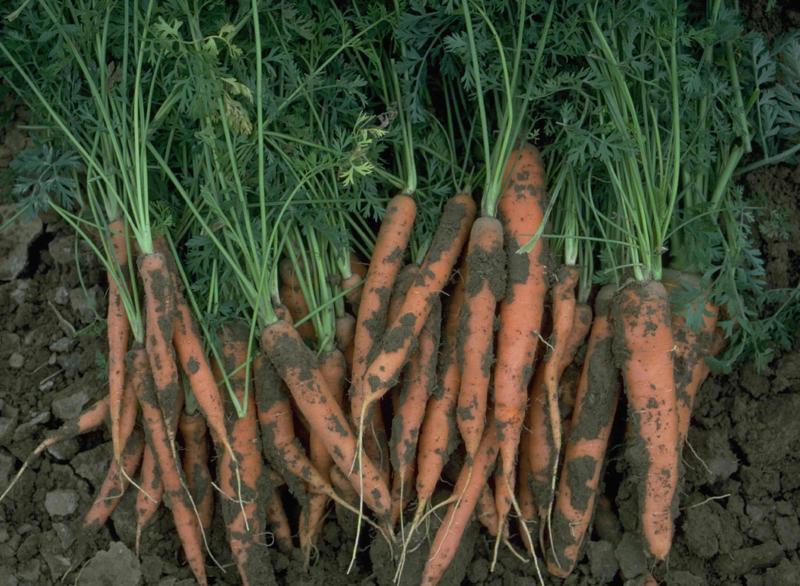 carrot_harvest.jpg