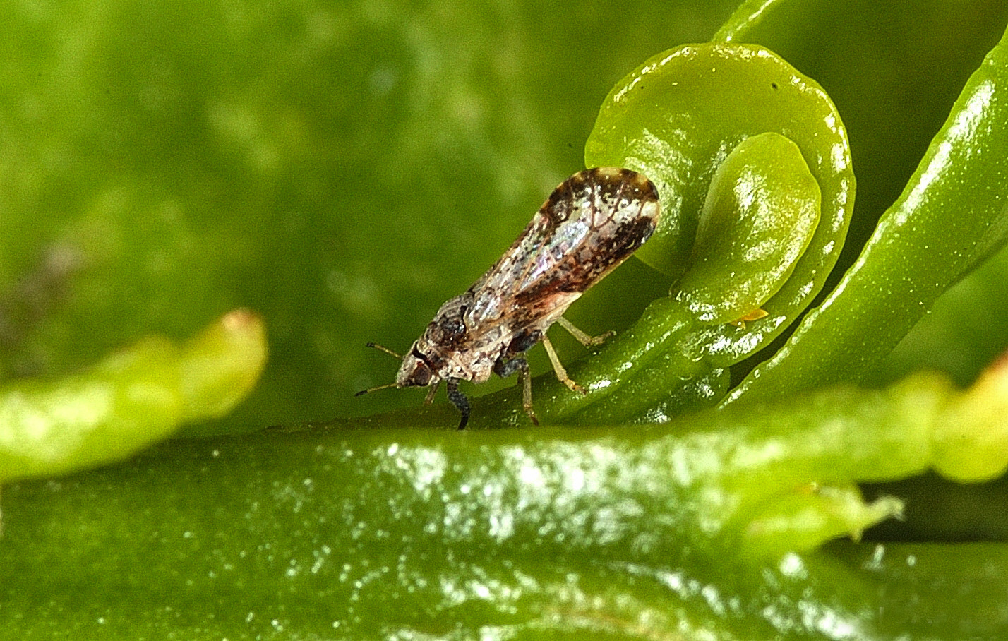 Asian_Citrus_Psyllid_adult.jpg
