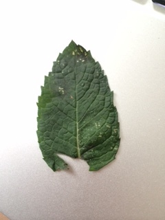 close up of mint leaf with white spots