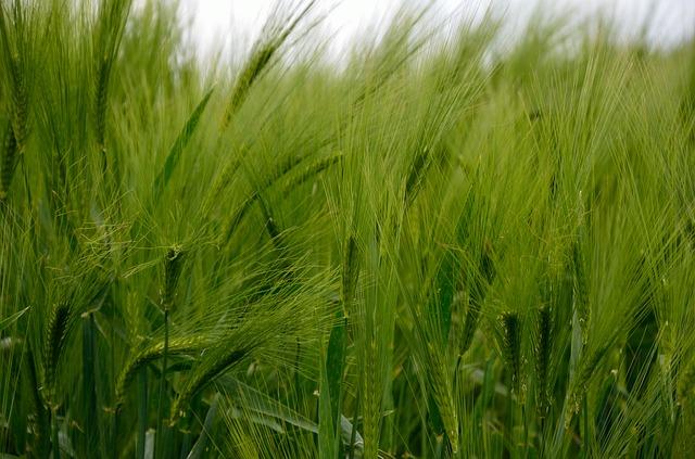barley-345137_640.jpg