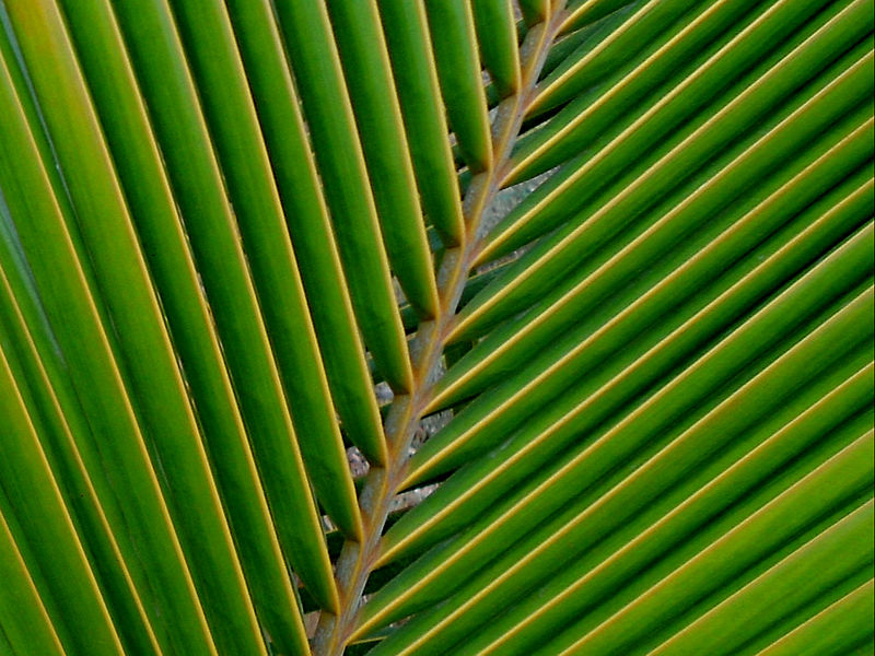 800px-A_coconut_palm_leaf_at_Madhurawada.JPG