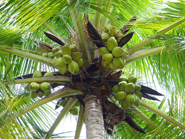 coconut-palm-172530_640.jpg