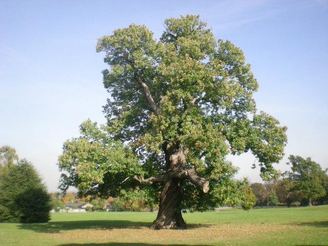 Sweet_Chestnut_tree_in_Carshalton_Park_-_geograph.org.uk_-_1534352.jpg