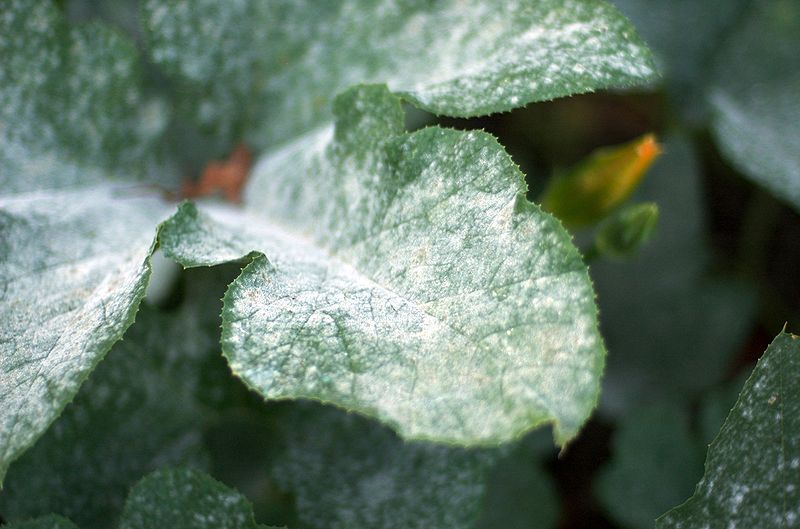800px-Powdery_mildew_on_pumpkin_leaves_1.jpg