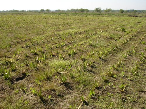 Aloe_Farming.jpg