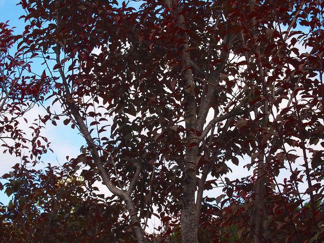Plum and prune