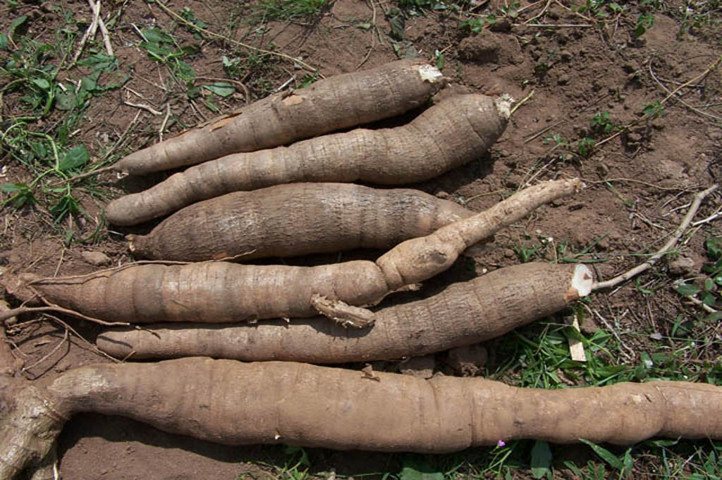 Cassava (manioc)