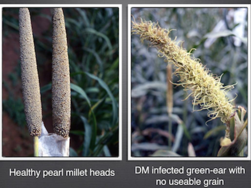 Pearl Millet Downy Mildew