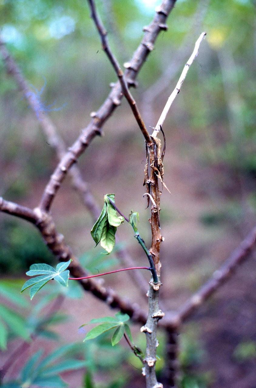 Cassava Bacterial Blight