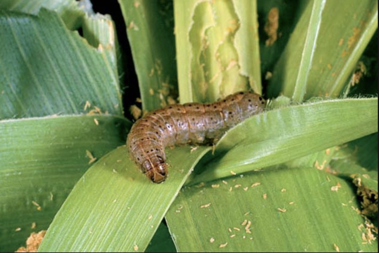 Fall armyworm - IPM