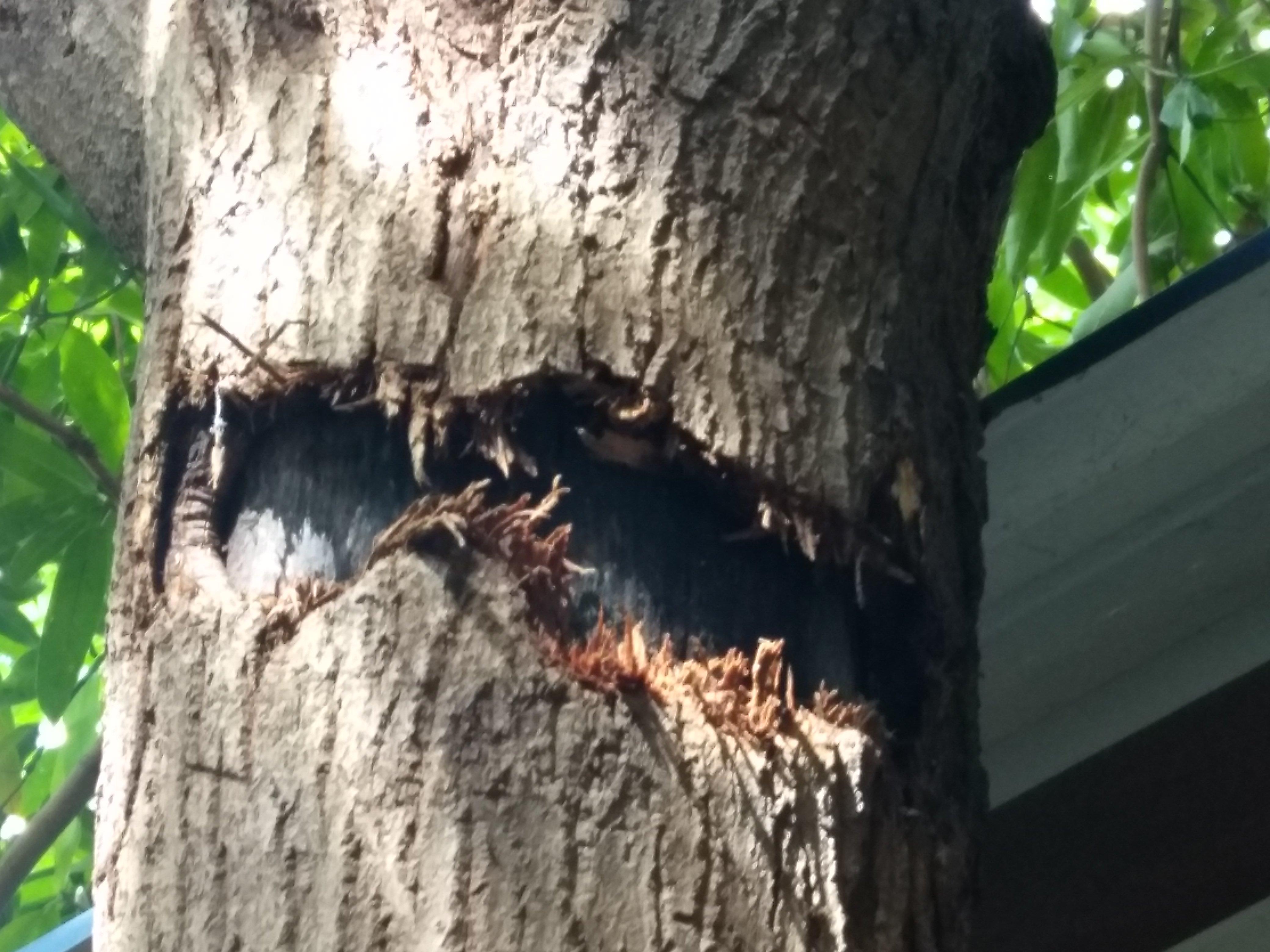 Mango tree bark came out