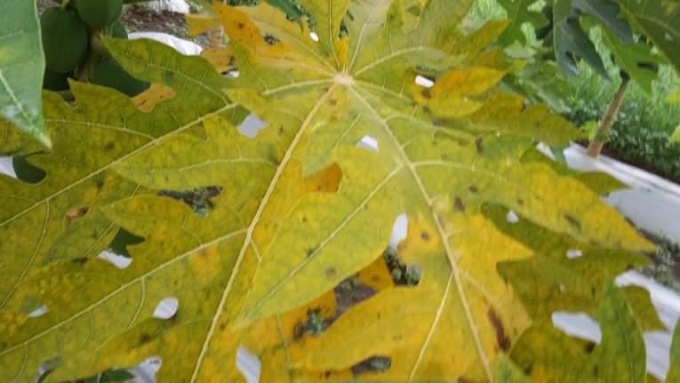 papaya leaf in my farm.