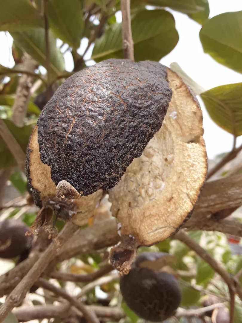 Guava fruit that is cracking